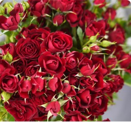 Кустовая роза красная 31 кустов